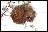 Lesser Masked Weaver nest