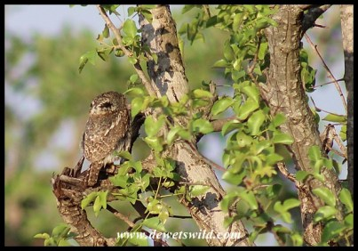 Pearl-spotted Owlet showing back of head and fake eyespots