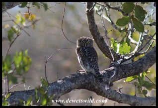 Pearl-spotted Owlet