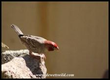 Red-headed Finch (male)