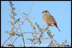Red-headed Finch (female)