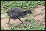 Juvenile Red-knobbed Coot