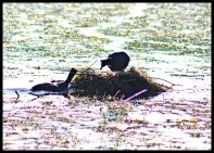Red-knobbed Coots building nest