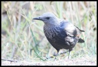 Female Red-winged Starling