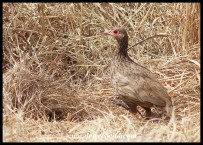 Swainson's Spurfowl