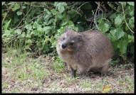 Rock Dassie (Hyrax)