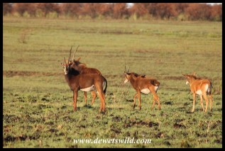 Sable Antelope females and calves