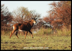 Sable Antelope cow