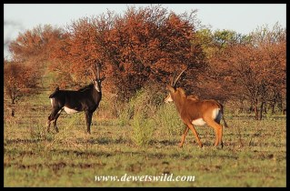 Sable Antelope bull and cow