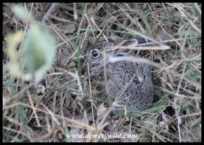 Scrub Hare baby