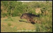 Shimuwini Bushveld Camp - Hippo