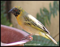 Southern Masked Weaver in transitional plumage