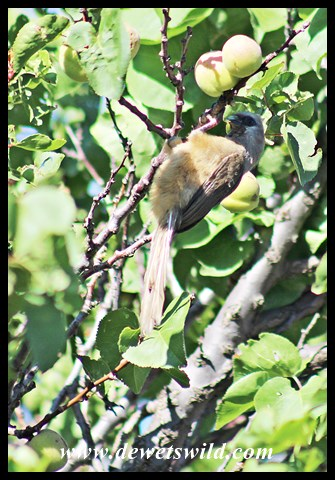 Speckled Mousebird raiding apricots