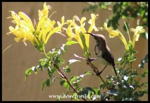 White-bellied Sunbird Juvenile Male