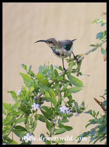 White-bellied Sunbird Juvenile Male