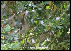 White-bellied Sunbird Female