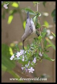 White-bellied Sunbird Female