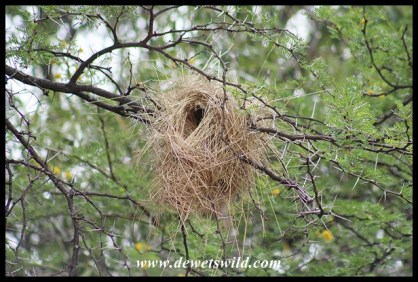 White-browed Sparrow-weaver nest