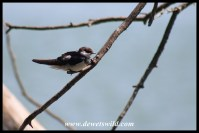 Immature White-throated Swallow