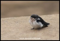 Juvenile White-throated Swallow