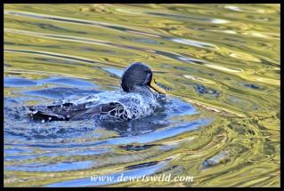 Yellow-billed Duck
