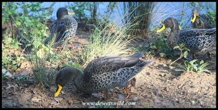 Yellow-billed Ducks