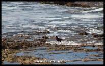 African Oystercatcher