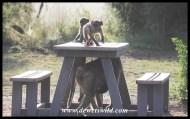 Baboons at Umbondwe Picnic Spot