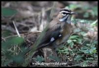Bearded Scrub Robin