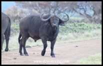 What a buffalo looks like just before he charges!