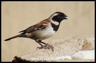 Cape Sparrow male