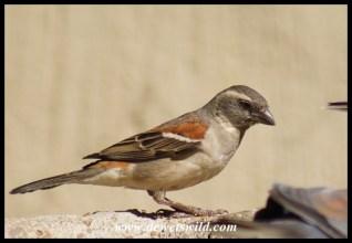 Cape Sparrow female