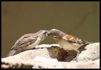 Cape Sparrow female feeding almost fully grown youngster
