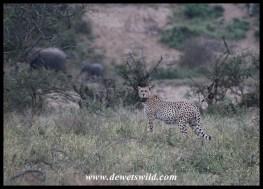 Cheetah - Hluhluwe-Imfolozi Park
