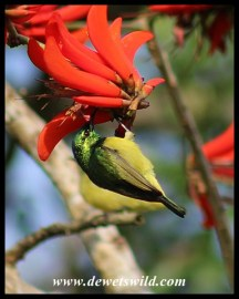 Collared Sunbird (female)