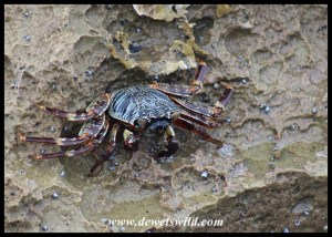 Natal Rock Crab in a tidal pool at Mission Rocks