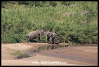 Elephants playing in the Umfolozi River