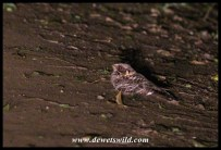 Fiery-necked Nightjar