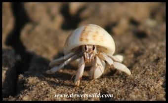 Hermit Crab - iSimangaliso Wetland Park
