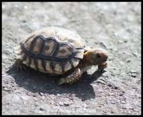 Leopard Tortoise hatchling, just a little bigger than a match box