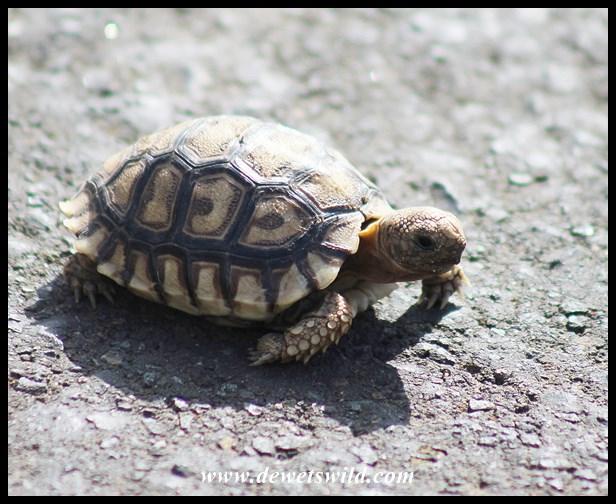 Leopard Tortoise hatchling, just a little bigger than a match box