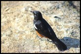 Mocking Cliff Chat (male)