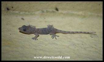 Baby Common Tropical House Gecko