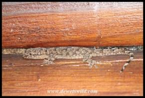 Common Tropical House Gecko
