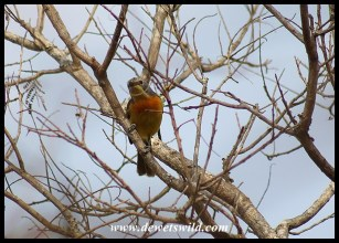 Orange-breasted Bushshrike (female)