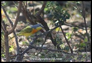 Orange-breasted Bushshrike (immature)