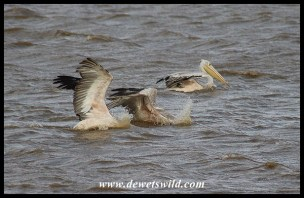 Pink-backed Pelicans feeding