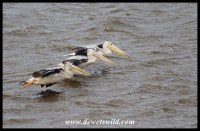 Pink-backed Pelicans - iSimangaliso Wetland Park
