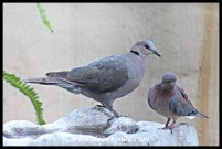 Red-eyed Dove with Laughing Dove, showing size difference