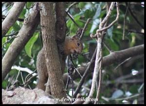 Red Bush Squirrel